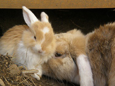 how to increase a rabbit's milk supply