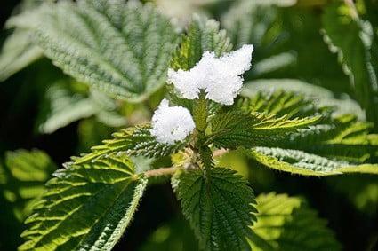 nettle leaf for rabbits
