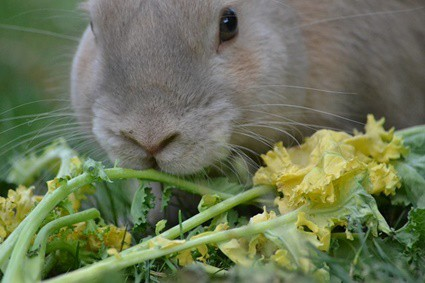 rabbit acts like its starving