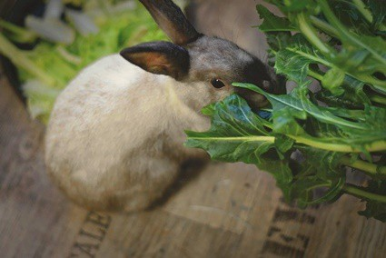 rabbit constantly hungry