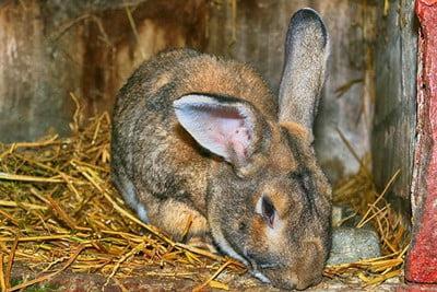 rabbit drinking own wee