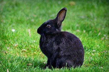 rabbit ear position meanings