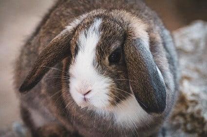 rabbit old age symptoms