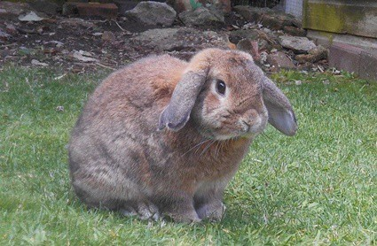 what is a good age for a rabbit?