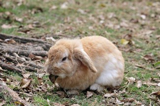 English Lop Personality