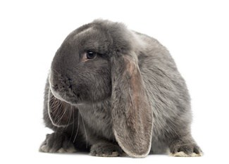 French Lop Personality