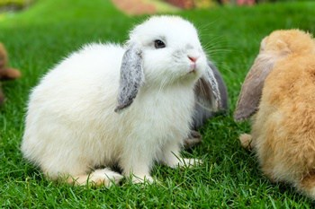 Holland Lop Personality