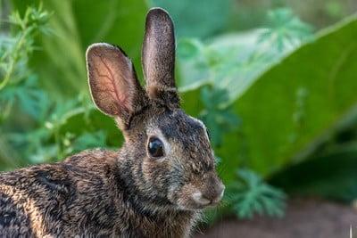 Rabbit symbolism meaning