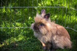 lionhead rabbits personality