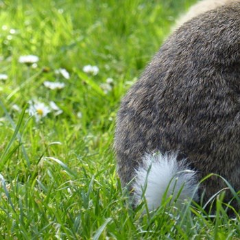 what is the point of a rabbit's tail?