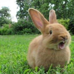 when do rabbits get teeth?