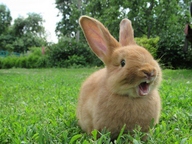when do rabbits get teeth?