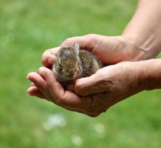 do wild baby rabbits make good pets?