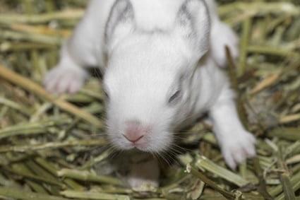 how much do baby bunnies poop?