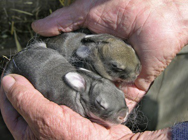 how to help a baby rabbit survive