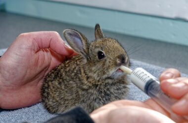 is it bad to keep a wild baby rabbit?