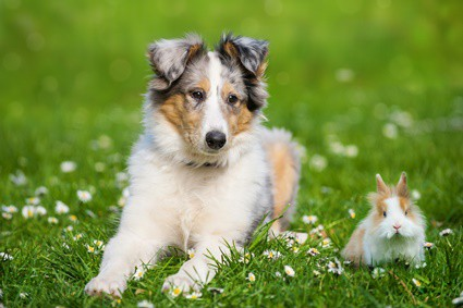 why do dogs like rabbit poop?