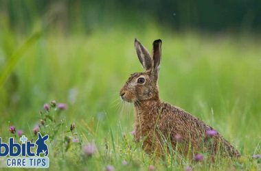 Hare on meadow