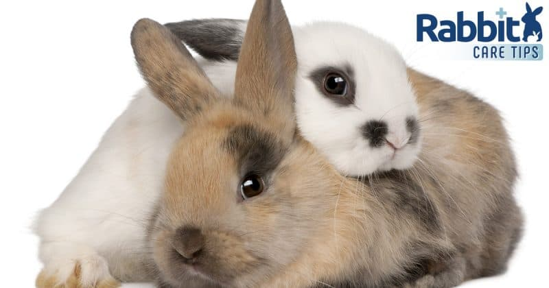 Male and Female Rabbit difference