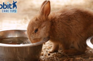 Rabbit drinking water